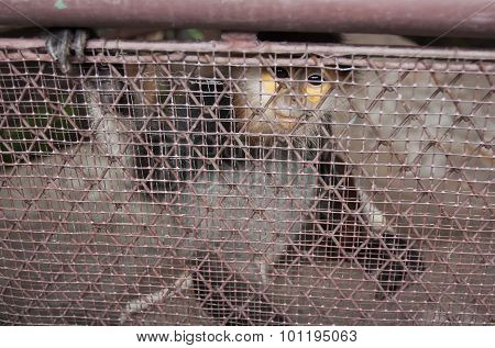 Red-shanked Douc Langur Sad Eyes Are Trapped In Cages, Thailand.