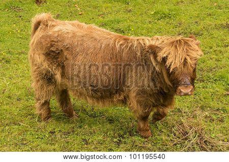 Highland Calf.