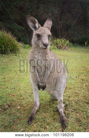 Kangaroo Macropus Giganteus