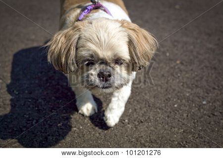 Little Shih Tzu standing on pavement