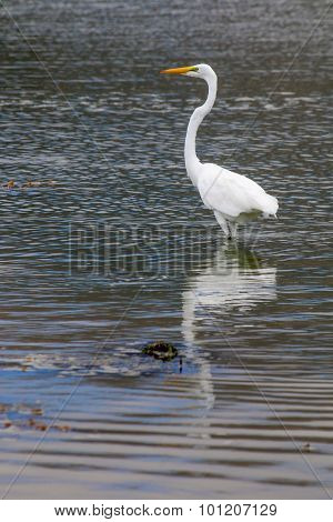 The Great Egret On The Water At Malibu Beach In August