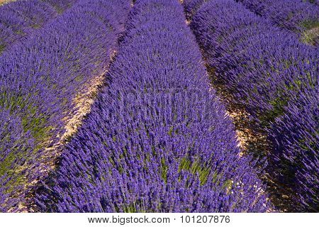 Lavender Flower Blooming Scented Fields