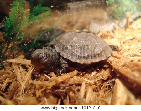 Baby Eastern Box Turtle
