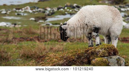 Young Lamb Grazing