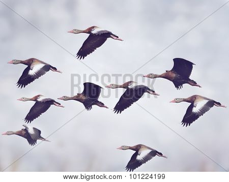 Flock of Black-bellied Whistling Ducks