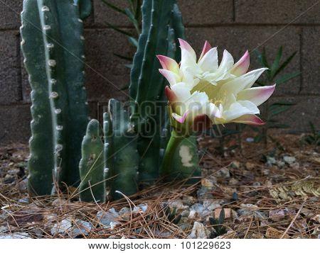 Night flower of Totem Pole