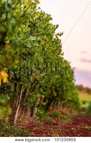 Vineyard In Istria, Croatia