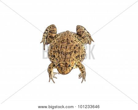 Frog Isolate White Background With Clipping Path
