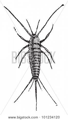 Silverfish, vintage engraved illustration.