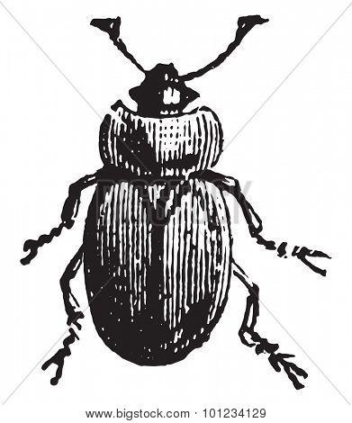 Sap beetle, vintage engraved illustration.