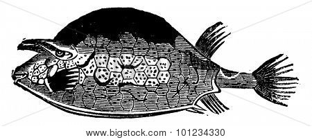 Ostracion quadricirnis, the fish of the Eocene period, vintage engraved illustration. Earth before man 1886.