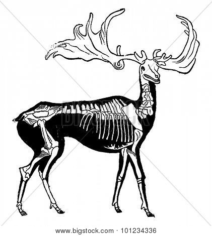 Skeleton and probable shape of giant deer woods, vintage engraved illustration. Earth before man 1886.