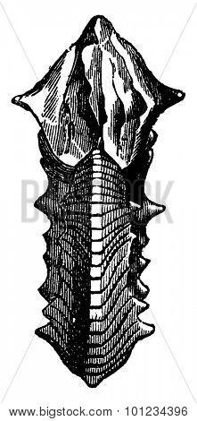Ammonite Margaritas, vintage engraved illustration. Earth before man 1886.