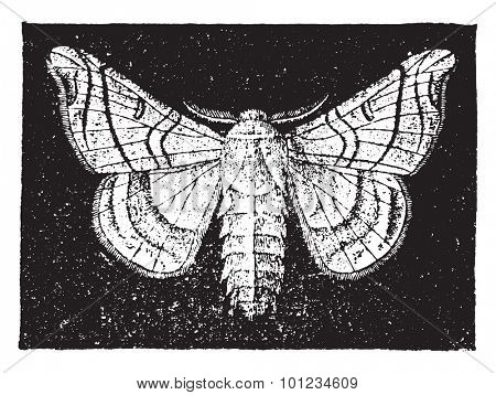 The mulberry silkworm, vintage engraved illustration. Natural History of Animals, 1880.