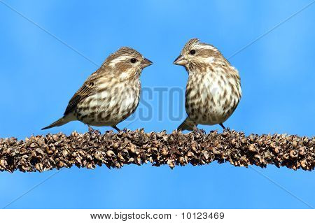 Purple Finches (carpodacus Purpureus)