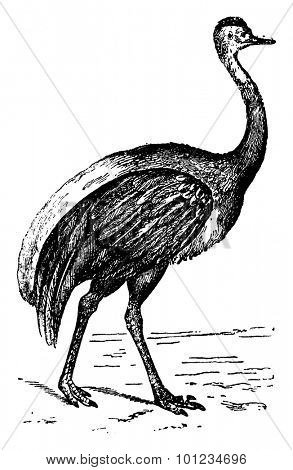 American Ostrich, vintage engraved illustration. Natural History of Animals, 1880.
