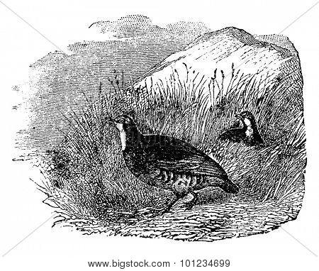 Partridges, vintage engraved illustration. Natural History of Animals, 1880.