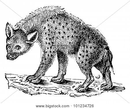 Hyenas or hyaenas, vintage engraved illustration. Natural History of Animals, 1880.