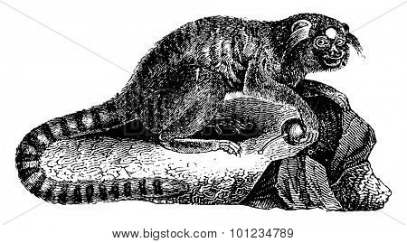 Marmoset black brushes or Marmoset penicille or callithrix penicillata, vintage engraved illustration. Natural History of Animals, 1880.