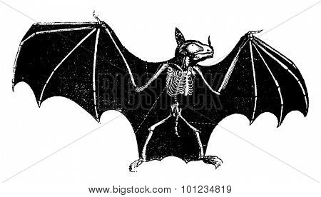 Skeleton Bat, vintage engraved illustration. Natural History of Animals, 1880.