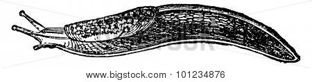 Slug, vintage engraved illustration. Natural History of Animals, 1880.