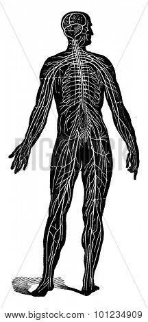 Nervous system of man, seen as a whole, vintage engraved illustration. La Vie dans la nature, 1890.