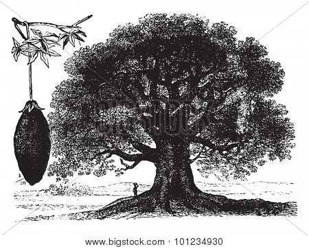 Baobab, vintage engraved illustration. La Vie dans la nature, 1890.