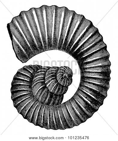 Cephalopod ammonites of the Cretaceous period, vintage engraved illustration. Earth before man - 1886.