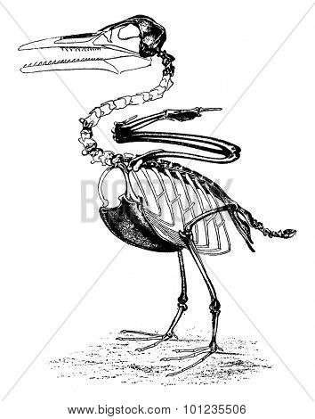 The toothed birds of the Cretaceous period, Ichthyornis Victor of North America, vintage engraved illustration. Earth before man - 1886.