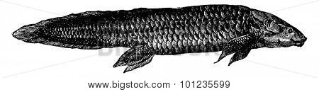 Fish from the Triassic Period: The Ceratodus, fish equipped with lung and gills, vintage engraved illustration. Earth before man 1886.