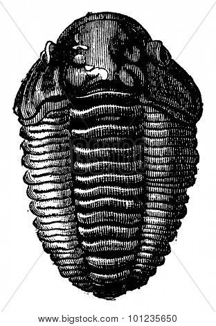 The king of primordial seas, Trilobite Calymene, vintage engraved illustration. Earth before man 1886.