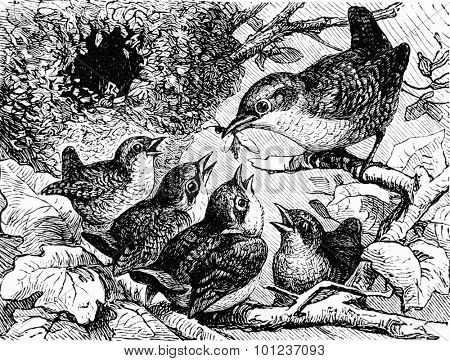 A family of wrens, vintage engraved illustration. La Vie dans la nature, 1890.