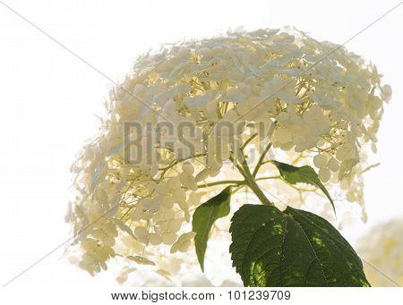 Bright white hydrangea