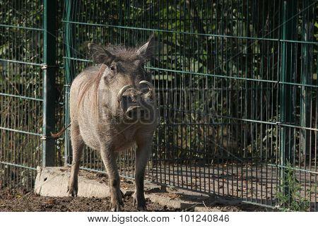 Common warthog (Phacochoerus africanus). Wild life animal.