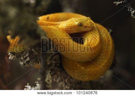 Eyelash viper (Bothriechis schlegelii). Wild life animal.