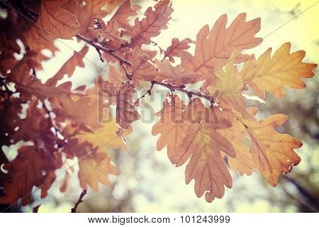 Fall Foliage Season Background Oak Vintage Leaf