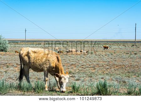 Cows On Pasture.