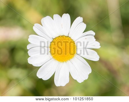 Closeup Of A Beautiful Yellow And White Marguerite