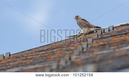Falcon Perched On A Roof