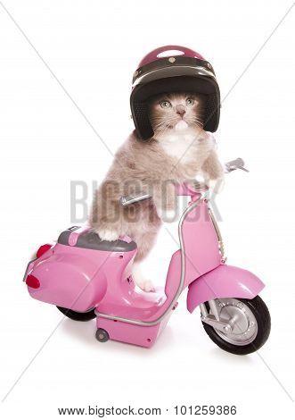 Ragdoll Kitten Riding A Pink Scooter