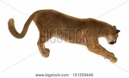 Big Cat Puma