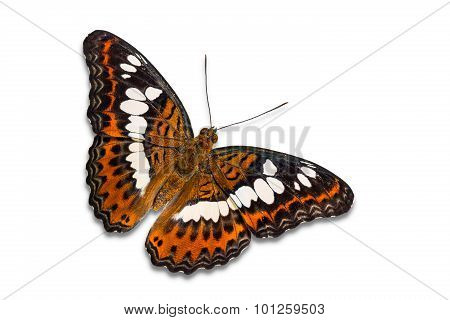 Common Commander Butterfly