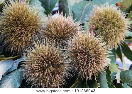 Five Chestnuts