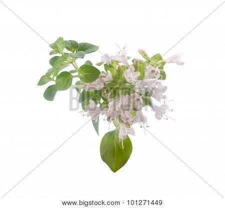 Blooming Branch Of Oregano
