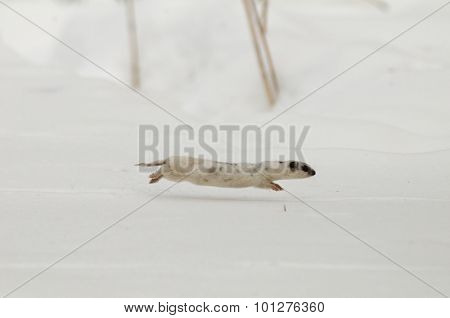Female Least Weasel Running In Snow