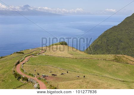 Grazing Cows In The Countryside. Sao Jorge Island. Azores. Portugal