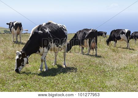 Grazing Cows In A Meadow. Sao Jorge Island. Azores. Portugal