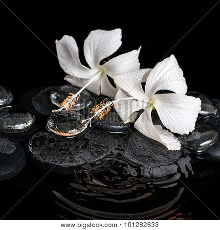 Spa Concept Of Delicate White Hibiscus, Zen Stones With Drops And Ice On Ripple Water Is Isolated On