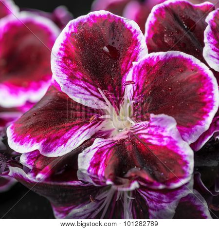 Beautiful Composition Of Geranium Flower And Black Zen Stones With Drops In Reflection Water, Royal