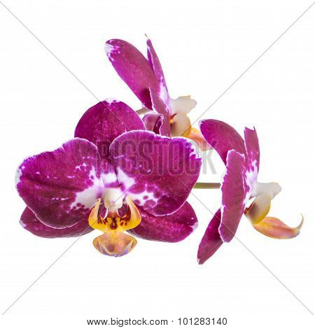 Blooming Branch Of Dark Purple With White Orchid, Phalaenopsis Is Isolated On White Background, Clos